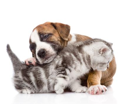 puppy hugs scottish kitten  isolated on white background