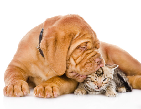 Photo for Bordeaux puppy dog kisses bengal kitten  isolated on white background - Royalty Free Image
