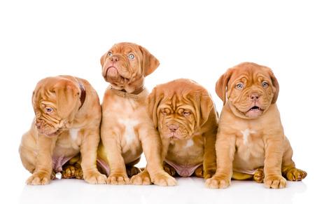 Group Bordeaux puppy dog  isolated on white background