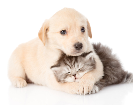 golden retriever puppy dog hugging british cat  isolated on white background