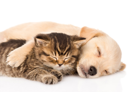 Photo pour golden retriever puppy dog and british cat sleeping together  isolated on white background - image libre de droit