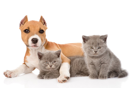 stafford puppy and two kittens lying together isolated on white background