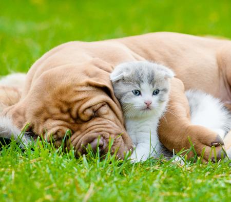 Closeup sleeping Bordeaux puppy dog hugs newborn kitten on green grass