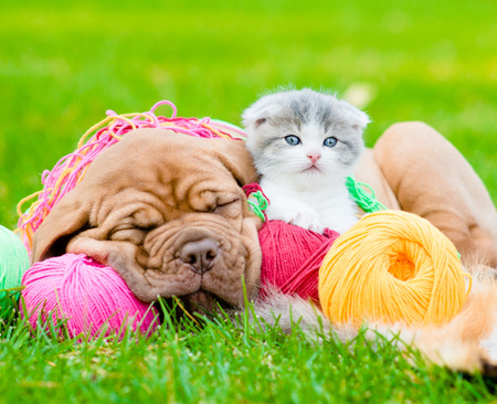 Sleeping Bordeaux puppy dog and newborn kitten on the colored tangles on green grass