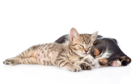 kitten and basset hound puppy sleeping together. isolated on white background