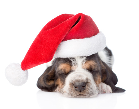 Sleeping basset hound puppy in red santa hat. isolated on white background
