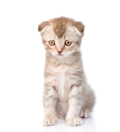 Photo pour Sad flap-eared kitten. isolated on white background - image libre de droit