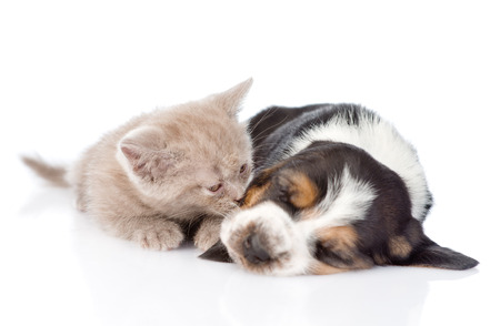 kitten sniffing sleeping puppy. isolated on white background