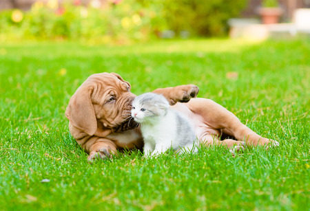 Bordeaux puppy dog playing with kitten on green grass