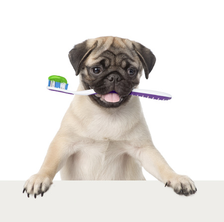 Photo pour Dog with a toothbrush peeking from behind empty board. isolated on white background - image libre de droit