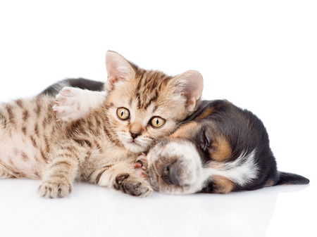 Tabby kitten lying with basset hound puppy. isolated on white background