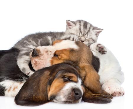 Tabby kitten sleeping on puppies basset hound. isolated on white background