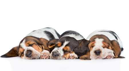 three puppies  basset hound sleeping side by side. isolated on white background