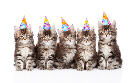 large group of small maine coon cats with birthday hats. isolated on white background