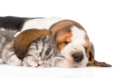 Tabby kitten sleeping, covered ear basset hound puppy. isolated on white background