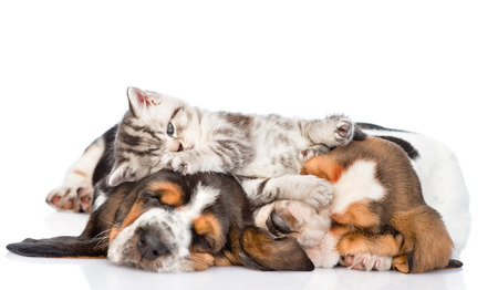 Funny kitten lying on the puppies basset hound. isolated on white background.