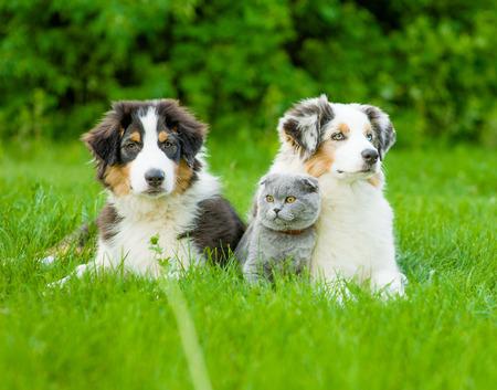 Two Australian shepherd puppies and scottish cat lying on green grass.