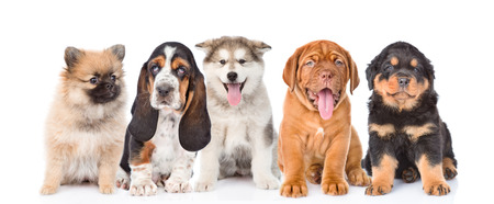 group of purebred puppies. isolated on white background.