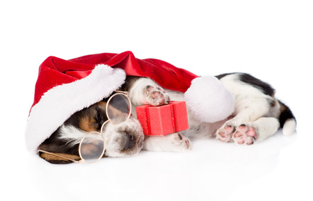 cute basset hound puppy with red gift box and santa hat. isolated on white background.