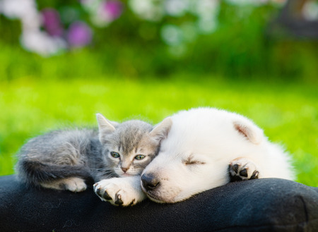 White Swiss Shepherd`s puppy and small kitten sleeping together.
