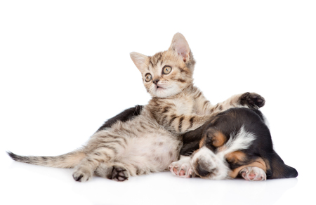 Tabby kitten and sleeping basset hound puppy lying together. isolated on white background