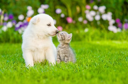 kitten kissing  White Swiss Shepherd`s puppy on green grass.
