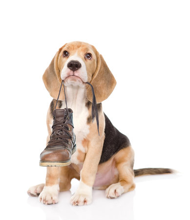 Foto de Puppy holds shoes in his mouth. Isolated on white background. - Imagen libre de derechos