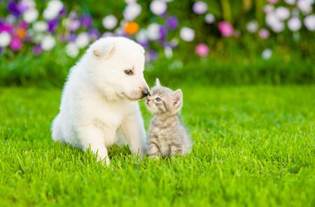 Photo pour Kitten kissing White Swiss Shepherd`s puppyon green grass. - image libre de droit