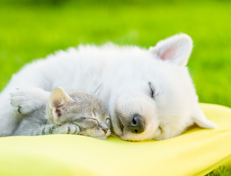 Photo pour White Swiss Shepherd`s puppy sleeping with kitten on pillow. - image libre de droit