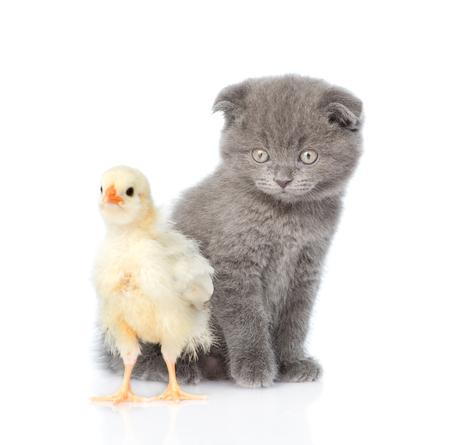 newborn chicken and kitten looking at camera. isolated on white background.