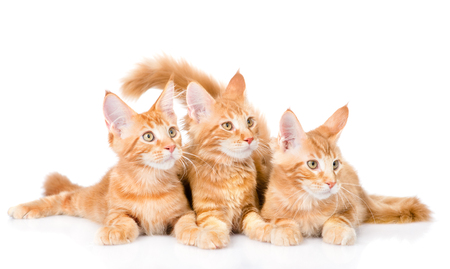 Group of small ginger maine coon cats lying in front view. isolated on white background.