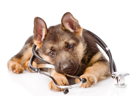 Foto per Playful German Shepherd puppy with a stethoscope on his neck. isolated on white background. - Immagine Royalty Free