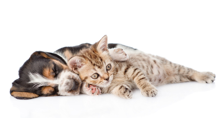 Tabby kitten and sleeping basset hound puppy lying together. isolated on white background.