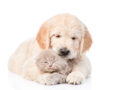 Golden retriever puppy hugging a small kitten. isolated on white background.