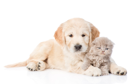 Golden retriever puppy and tiny kitten together. isolated on white background.
