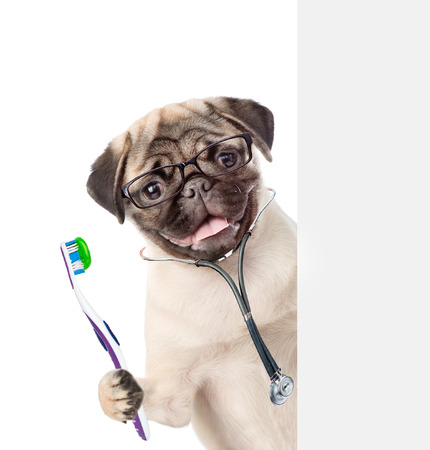 Dog with a stethoscope on his neck holding a toothbrush. isolated on white background.