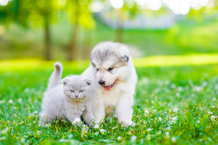 Photo pour Alaskan malamute puppy and kitten sitting together on green grass. Space for text. - image libre de droit