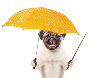 Happy and funny puppy with umbrella and pointing stick. isolated on white background.