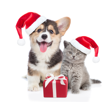 Foto de Pembroke Welsh Corgi puppy and kitten in red christmas hats sitting with gift box. isolated on white background. - Imagen libre de derechos