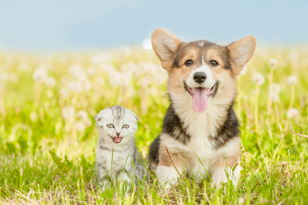 Foto de Pembroke Welsh Corgi puppy and tabby kitten on a summer grass. - Imagen libre de derechos