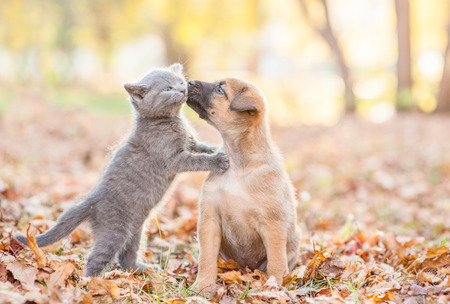 Foto de mongrel puppy kisses a kitten on autumn leaves. - Imagen libre de derechos