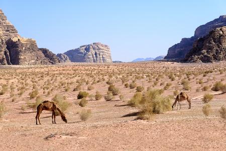 Camels graze in Wadi Rum desert in Jordan. Wadi Rum is a valley cut into the sandstone and granite rock in southern Jordan 60 km 37 mi to the east of Aqaba; it is the largest wadi in Jordan.