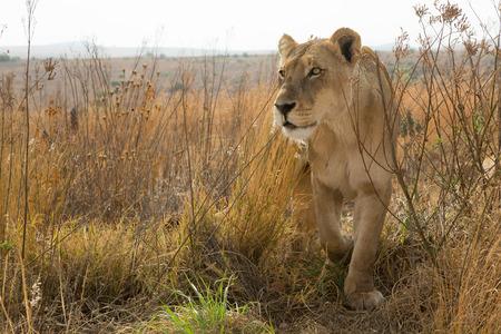 Photo pour Lioness close up kruger - image libre de droit