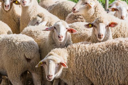 Foto de herd of white sheep in the countryside - Imagen libre de derechos