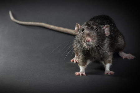 Foto de Animal gray rat close-up on a black background - Imagen libre de derechos