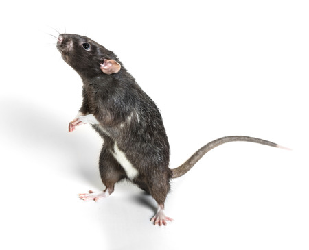 Foto de Animal gray rat close-up on white background - Imagen libre de derechos