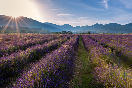 Photo pour French landscape - Drome. Sunrise over the fields of lavender in the Provence (France). - image libre de droit