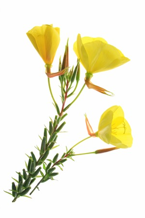 Foto de blossoming common evening primrose (Oenothera biennis) three blossoms isolated against white background - Imagen libre de derechos