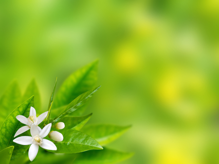 Photo pour White flowers in the corner of spring with blurred garden background. Neroli blossom - image libre de droit