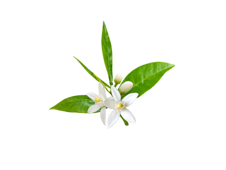 Photo pour Branch of orange tree with white fragrant flowers, buds and leaves isolated on white. Neroli blossom. - image libre de droit